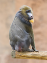 Portrait of the adult mandrill in it's natural habitat