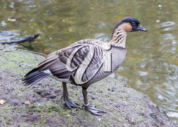 Hawaiian goose, Branta sandvicensis, or Sandwich Island goose