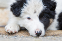 Small Border Collie puppy on a farm, brown eyed, resting