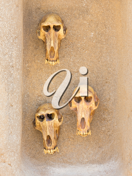 Three monkey skulls on an old wall