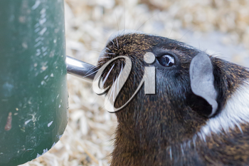 Portrait of a guinea pig drinking, selective focus