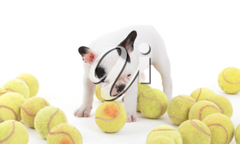 French puppy bulldog with tennisballs, isolated on a white background, selective focus
