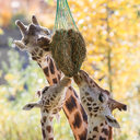 Three giraffes eating hay from feeder at zoo