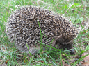 Photo of the small hedgehog in a green grass