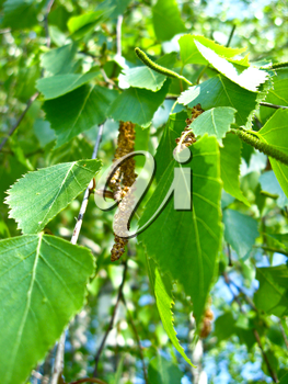 The image of young green sprouts of birch