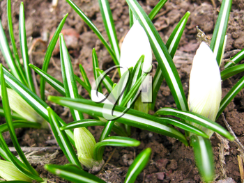 The image of some white blossoming crocuses