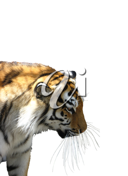 The big tiger isolated on a white background
