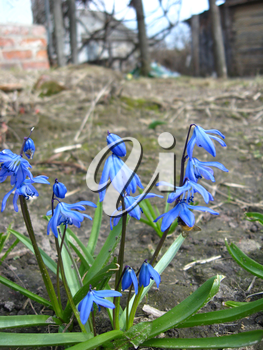 image of blue snowdrops near the house