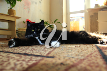 nice black cat lolling about on the carpet