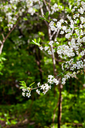 white flowers on tree in spring woods
