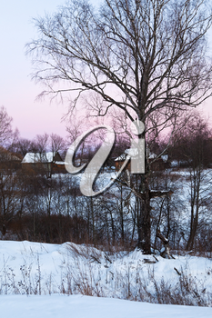 birch in rustic landscape at pink winter sunset