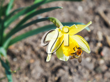 bumble bee gathering nectar from narcissus flower in spring day