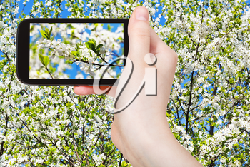 travel concept - tourist taking photo of twig of cherry blossoms and white cherry flowers on mobile gadget in spring