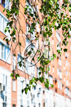 branch of green birch tree and urban house on background in spring
