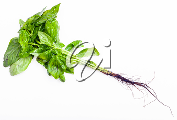 bunch of fresh cut green basil herb on white background
