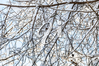 snow-covered branches of larch tree in forest of Timiryazevskiy park of Moscow city in sunny winter day