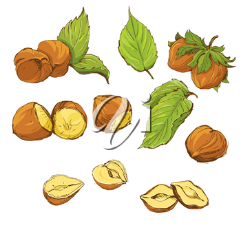 Set of highly detailed hand drawn hazelnuts isolated on white background, color picture