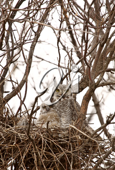 Great Horned Owl with owlets in nest