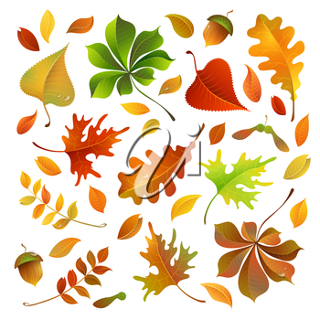 Oak, maple, birch, rowan, chestnut leaves and acorn for your design isolated on white background.