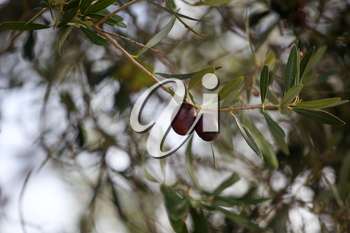 Close up of olive fruit in olive grove