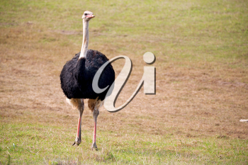 blur in south africa   mlilwane wildlife  nature  reserve and  wild ostrich