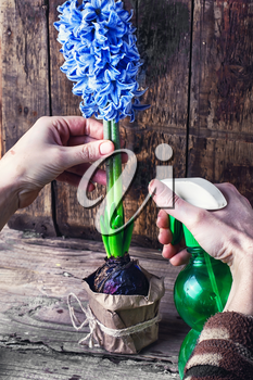 Hand with spray bottle for watering hyacinth