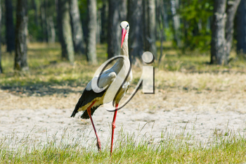 Walking stork in forest looks for food. Beautiful big bird in nature