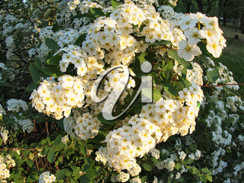 White flowers on a bush on the park with wide angle distortion view