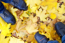Top view of the male and female feet, standing on the lawn covered with fallen autumn yellow maple leaves.