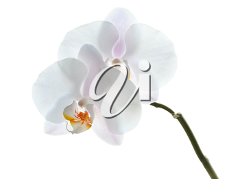 Phalaenopsis. White orchid flowers isolated on white background. Front view