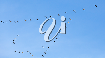 Flock of birds. Canadian geese flying in V shaped group over blue sky background