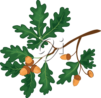 Oak branch with green leaves and acorns on a white background. Vector