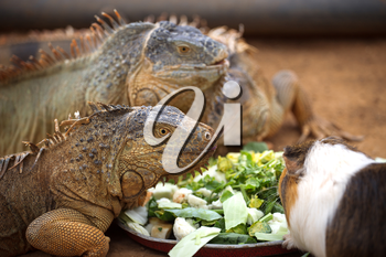 Three lizard eat the leaves of the plates and they came to eat the guinea pig