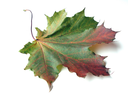 Multi-coloured maple leaves a sign of coming autumn and fast holidays