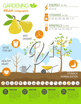 Gardening work, farming infographic. Pear. Graphic template. Flat style design. Vector illustration