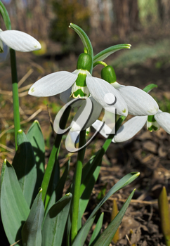 Several flowers blossoming snowdrops on blurred background