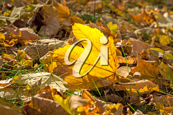 Yellow leaf on a background of dry fallen leaves