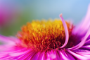 Detail blurred with shallow depth of field pink aster flower close-up. Selective focus.