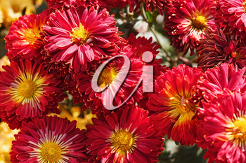 Red chrysanthemum flowers blossom. Many beautiful flowers. Floral background.