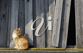 Cute ginger tabby cat against the background of the wooden fence.