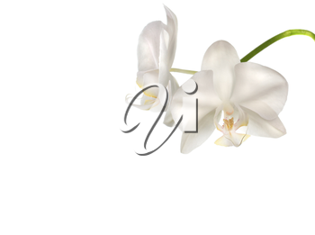 Beautiful white orchid flowers isolated on white background