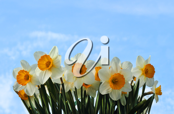 Spring narcissus flower on blue sky background