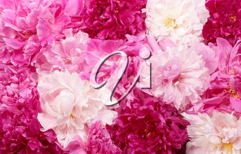 Different color peonies  for background