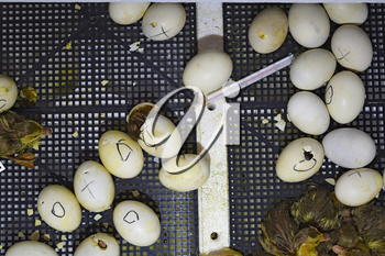 Hatching of eggs of ducklings of a musky duck in an incubator. Cultivation of poultry.