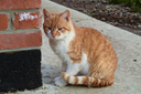 Adult red - white cat. Sitting on concrete red cat.