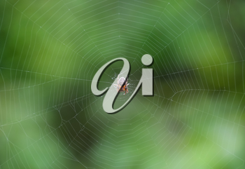 Small spider in his web of Araneus. Lovcen spider network.