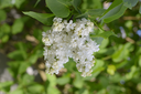 White Lilac. Beautiful purple lilac flowers outdoors. Lilac flowers on the branches