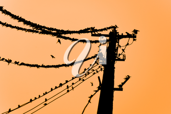 Silhouettes of swallows on wires. at sunset wire and swallows.