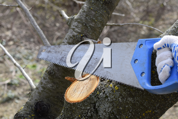Cutting a tree branch with a hand garden saw. Saw a hacksaw at the cut branch. Pruning fruit trees in the garden.