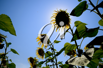 A view from below on blooming sunflowers. Sunflower field